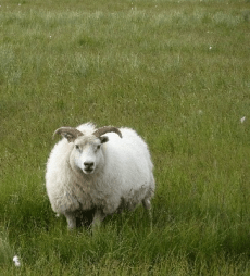 2277fb8b0b9 La laine de mouton   biosourcée et hygrophile ! - Conseils Thermiques